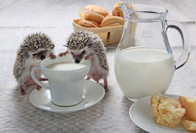 ежики пьют молоко