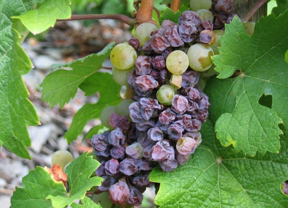 испорченный виноград