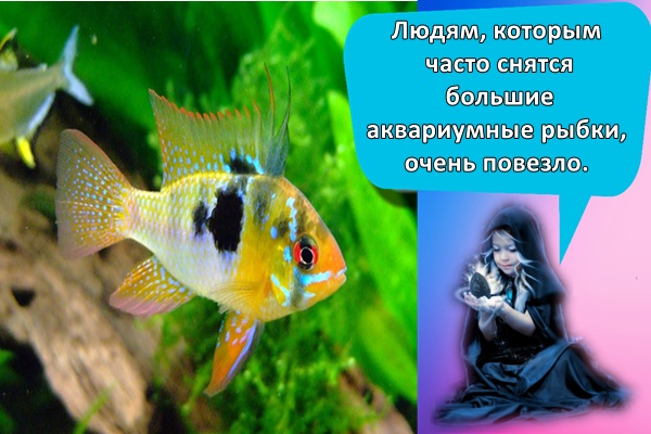 Людям, которым часто снятся большие аквариумные рыбки, очень повезло.