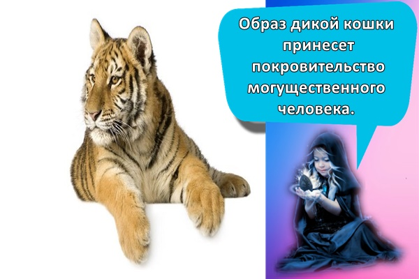 красивый тигр