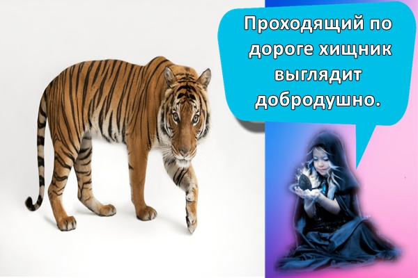 идет тигр