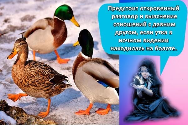 Предстоит откровенный разговор и выяснение отношений с давним другом, если утка в ночном видении находилась на болоте.